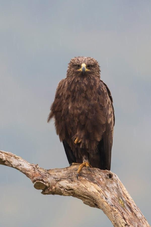 © Богдан Боев/Малък креслив орел