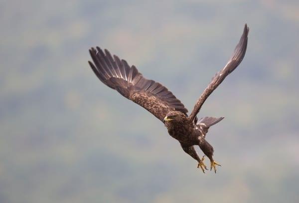 © Bogdan Boev/Lesser spotted eagle