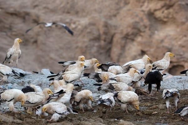 © Torsten Prohl/Египетски лешояди