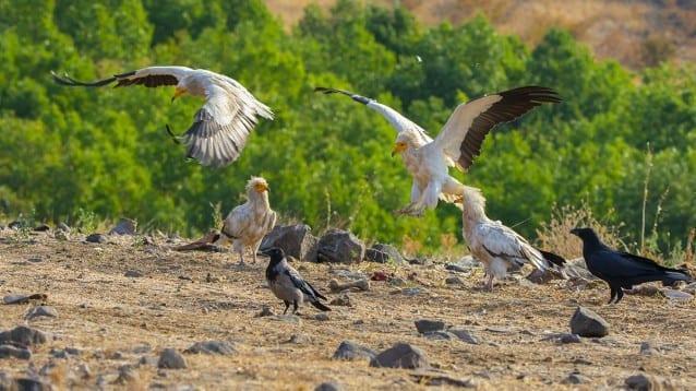 © Ивайло Дичев/Египетски лешояд