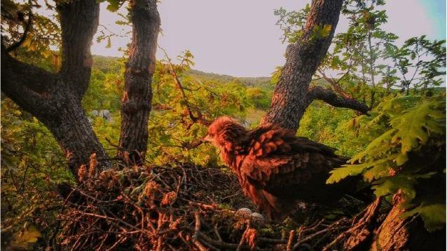 Неравностойно партньорство в двойките на малкия креслив орел