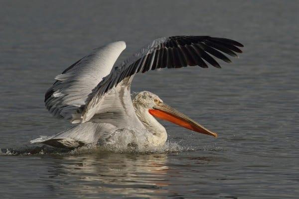 © Sv.Spasov/Dalmatian pelican