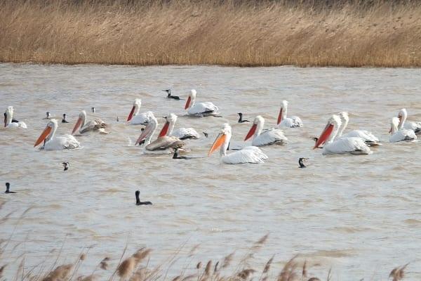 © Петър Янков/Къдроглави пеликани