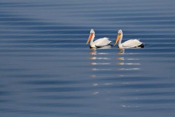 Къдроглави пеликани