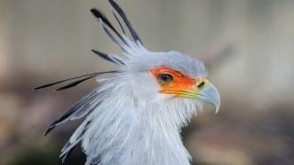 Червеният списък на IUCN за 2020: популациите на емблематични хищни птици рязко намаляват