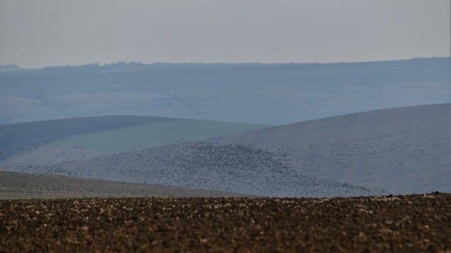 Голяма дропла в Добруджа и рекордна численост на гъски в Свищовско-Беленската низина