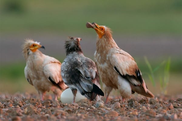 ©David Fahardo/Египетски лешояд