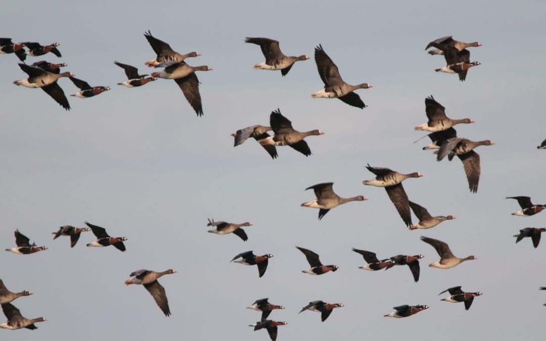 Преброихме 20 000 червеногуши гъски в местата за зимуване в България, Украйна и Румъния