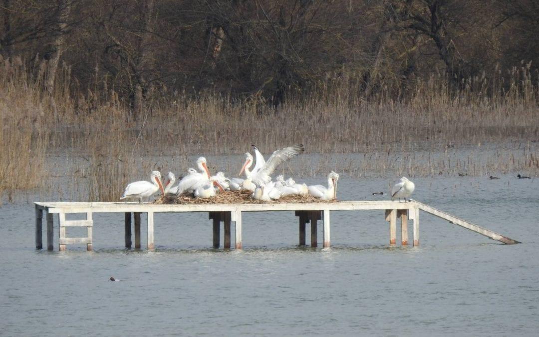 Започна размножителният сезон за пеликаните в Природен парк ПЕРСИНА