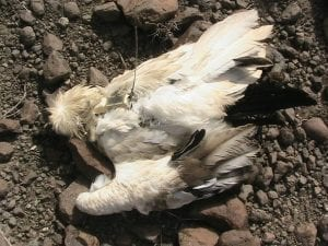 Загинал египетски лешояд
