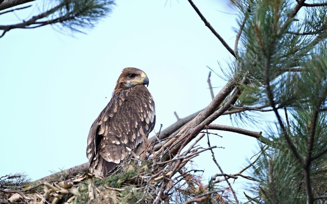 Кампания на Теленор подкрепя опазването на царския орел