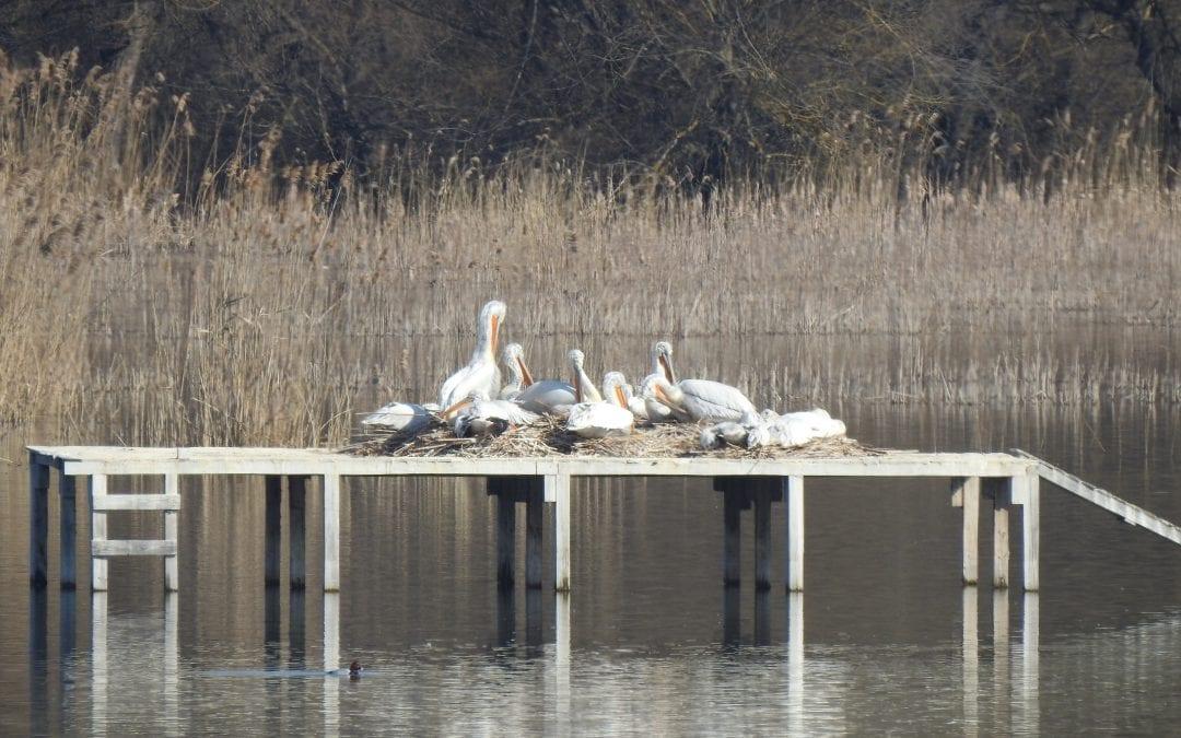 """Рекорден брой къдроглави пеликани загнездиха върху двете наколни дървени платформи в блато Песчина, намиращо се на остров Персин. Това установиха по време на редовния мониторинг експертите от Българско дружество за защита на птиците (БДЗП) и Дирекция на Природен парк """"Персина"""". Към 12 март броят на гнездящите двойки къдроглави пеликани в блато Песчина е 64, което е абсолютен рекорд, спрямо предходните години.   През 2016 г. за първи път бе сформирана нова гнездова колония на вида в България. Тогава 7 двойки успешно бяха заели една от наколните дървени платформи в блато Песчина. През 2017 г. двойките бяха 4, през 2018 г. – 9, през 2019 г. – 24, а през 2020 г. – 22. Припомняме, че през миналата година 8 двойки къдроглави пеликани успешно отгледаха своите малки и на друга наколна дървена платформа, намираща се в Мъртво блато, което също е част от Поддържан резерват """"Персински блата"""".  В момента къдроглавите пеликани мътят, като през първата половина на април очакваме да се излюпят и първите малки.   За да е изцяло ефективен мониторингът на пеликаните на остров Персин, експертите извършиха и заснемане на платформите с помощта на дрон. Това е иновативен метод, който се използва при мониторинг на гнездови колонии на вида предимно в Гърция (Преспанско езеро) и в района на делтата на река Дунав в Румъния, където експертите нямат пряка видимост към всички гнездящи двойки. Благодарение на кадрите, заснети с дрон, екипът успя да събере детайлна и точна информация за числеността на гнездящите къдроглави пеликани в блато Песчина. Следващите дни предстои да се извърши мониторинг и на Мъртво блато.   При заснемането с дрон е много важно птиците да не бъдат обезпокоени. Затова се извършва само от експерти по вида – на минимум 40 метра височина и за много кратък период от няколко секунди.   Дейностите по опазване на къдроглавия пеликан се осъществяват в рамките на проект """"Животът на пеликана"""" (LIFE18/NAT/NL/000716), финансиран по програма LIFE на ЕС и с помощта на Whitlеy Fund for N"""