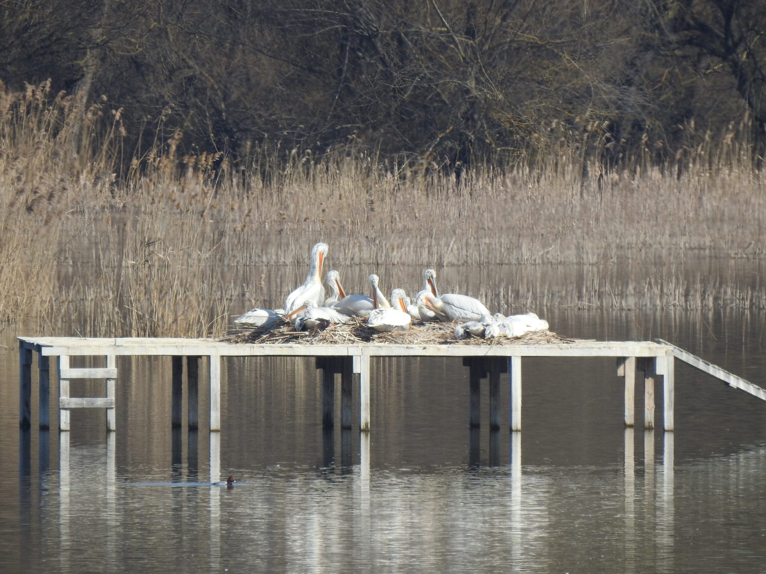 A record number of Dalmatian pelicans nest in the Peschina swamp