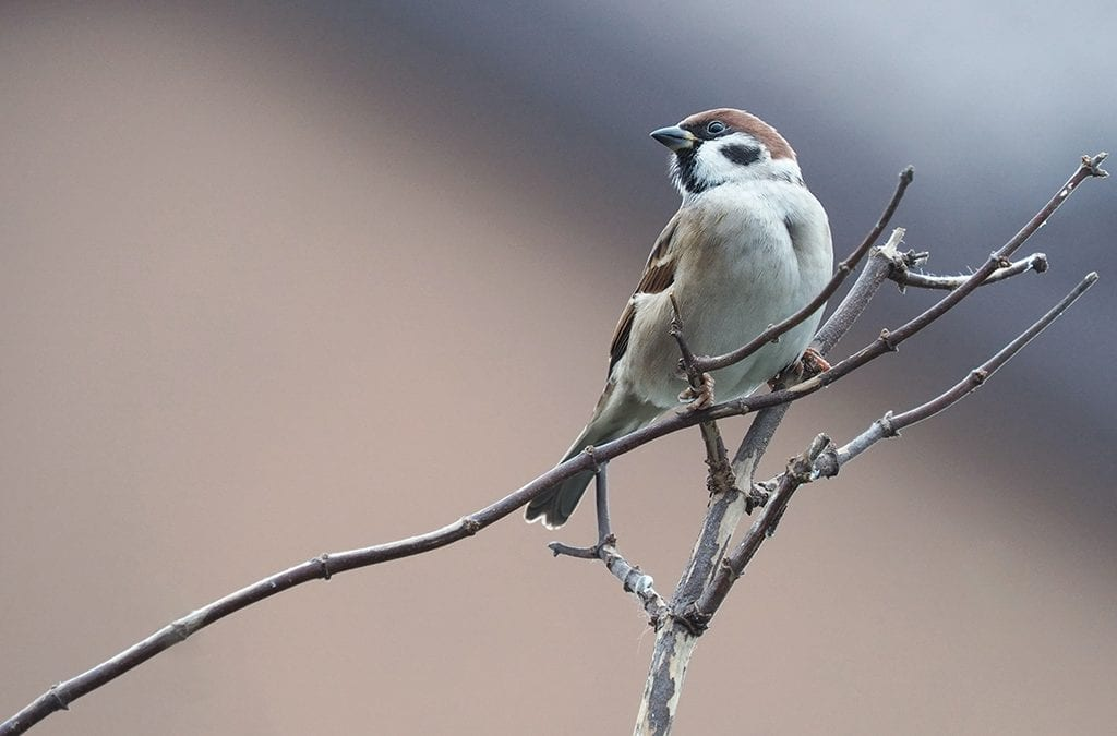 Успешен старт на схемата за мониторинг на обикновените видове птици в България