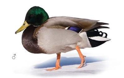 Зеленоглава патица