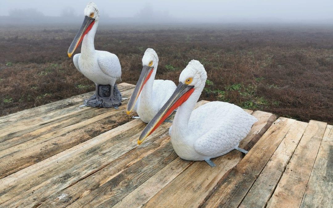 макети на къдроглави пеликани