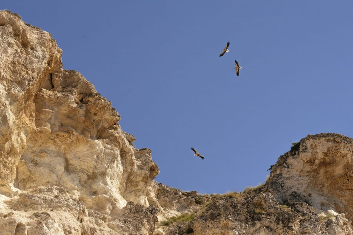 Египетски лешояди, © Mahmut Koyaş