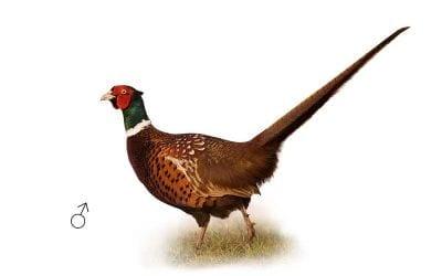 Колхидски фазан