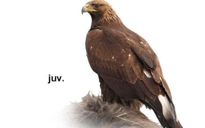 Скален орел