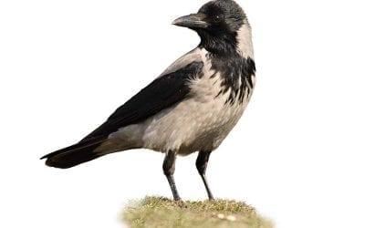 Сива врана