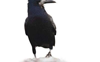 Посевна врана