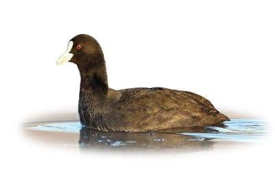 Лиска (белочела водна кокошка)