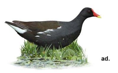 Зеленоножка (зеленонога водна кокошка)