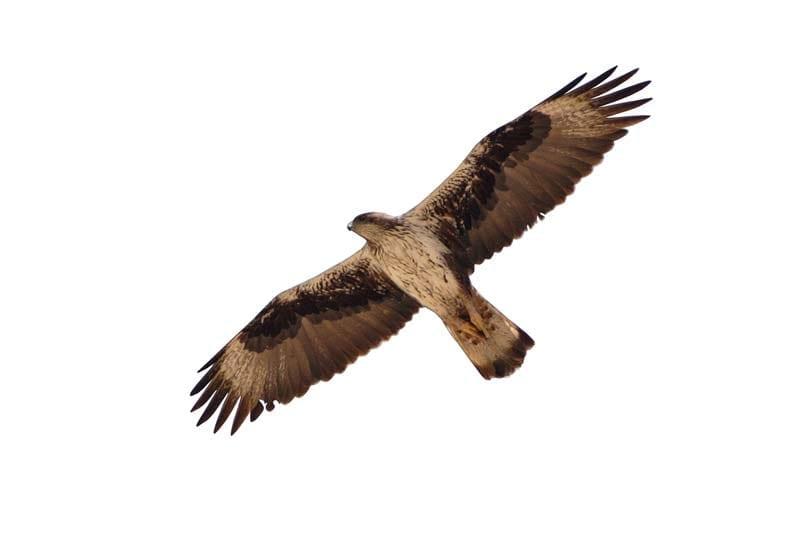 Ястребов орел