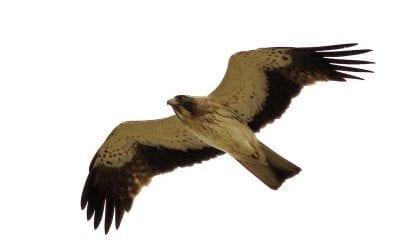 Малък орел