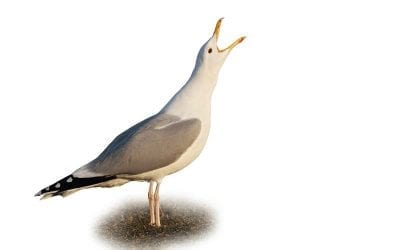 Каспийска жълтонога чайка