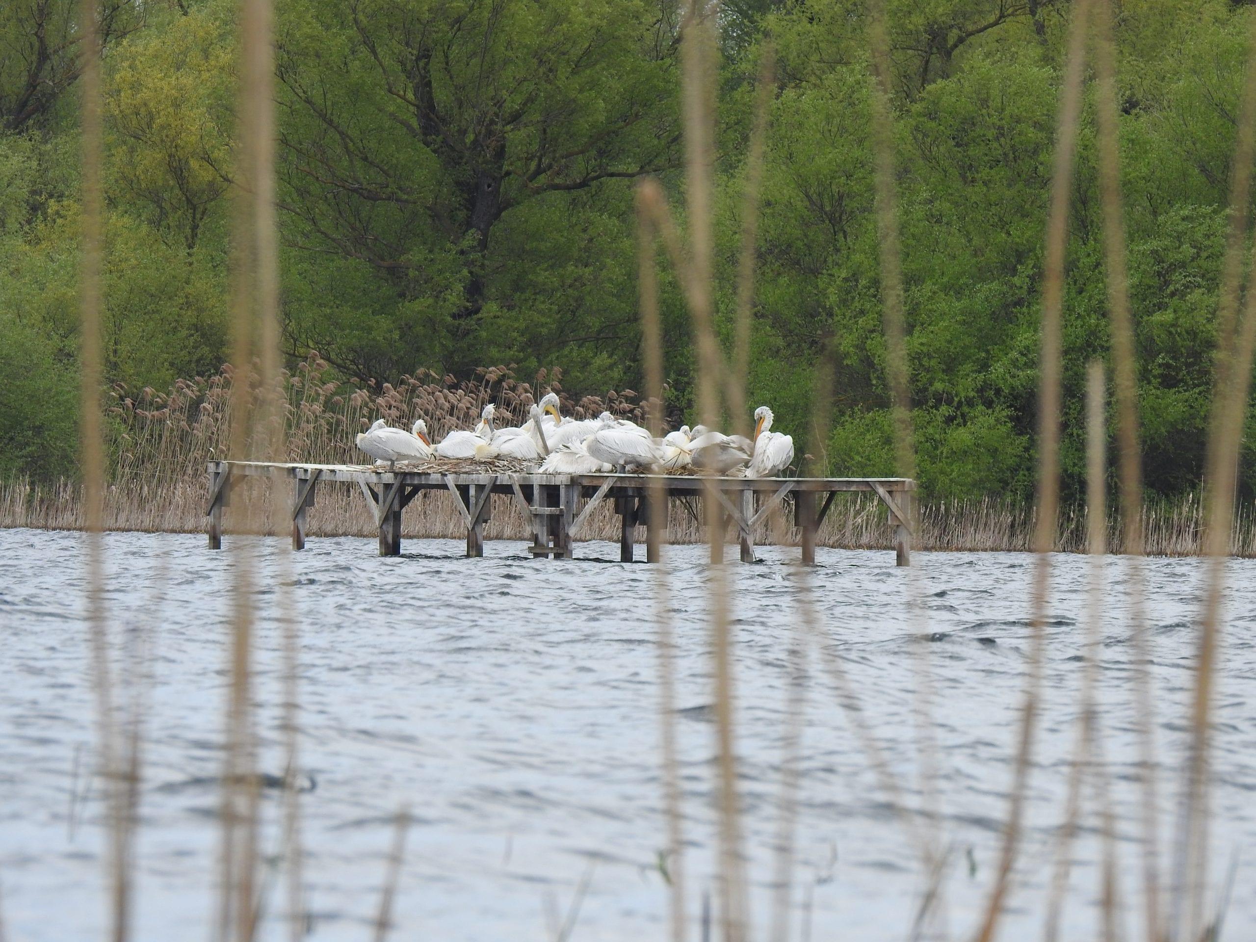 Рекорден брой къдроглави пеликани загнездиха в Мъртво блато на остров Персин