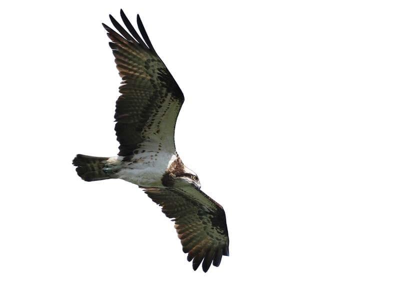 Орел рибар