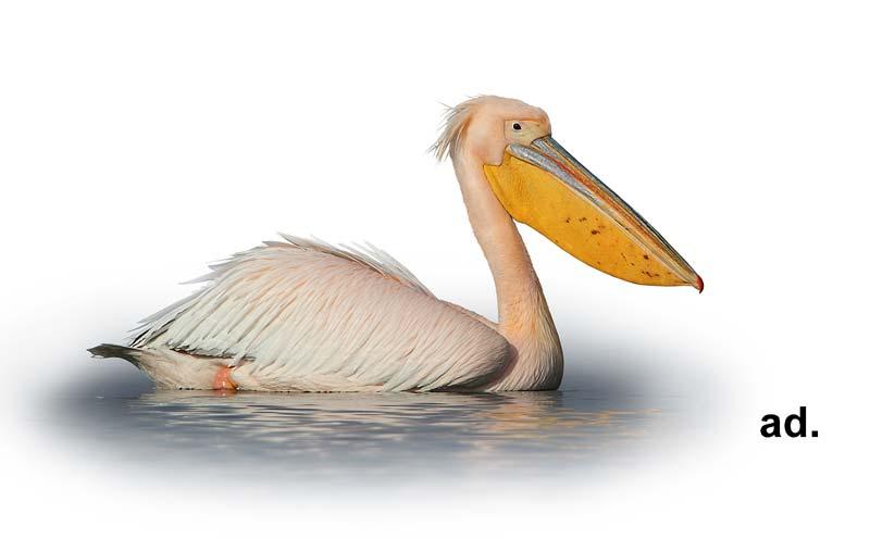Розов пеликан, С. Спасов