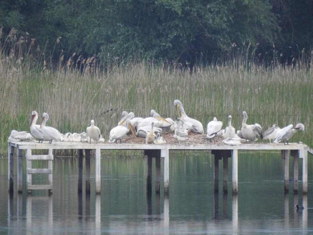 Dalmatian Pelicans, © Svilen Cheshmedziev