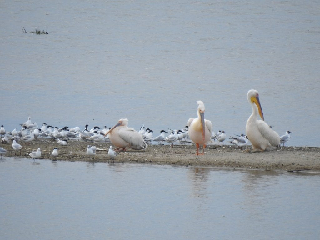 Great white pelicans, © Zornitsa Petkova