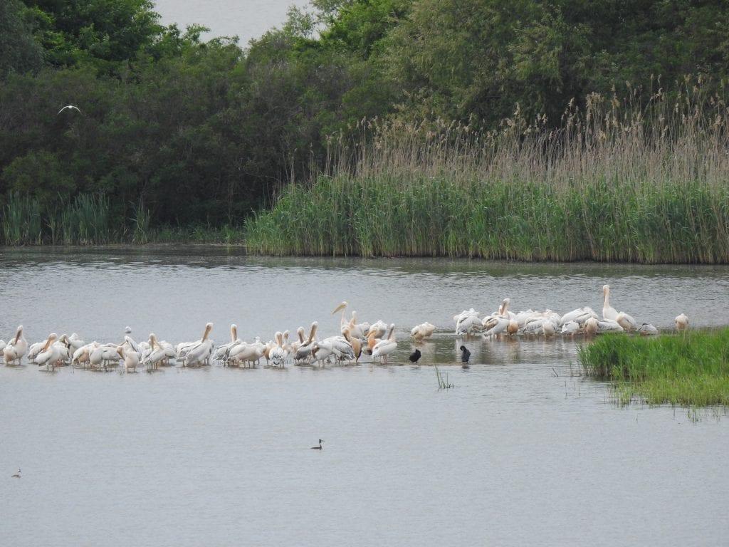 Розови пеликани, © Зорница Петкова