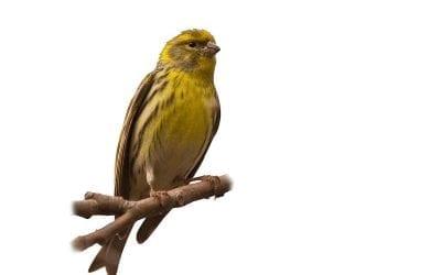 Европейско канарче