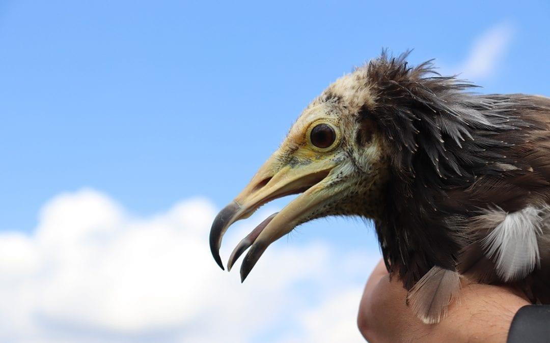 Младите египетски лешояди oт адаптационната волиера са готови да полетят свободно в небето на Източни Родопи