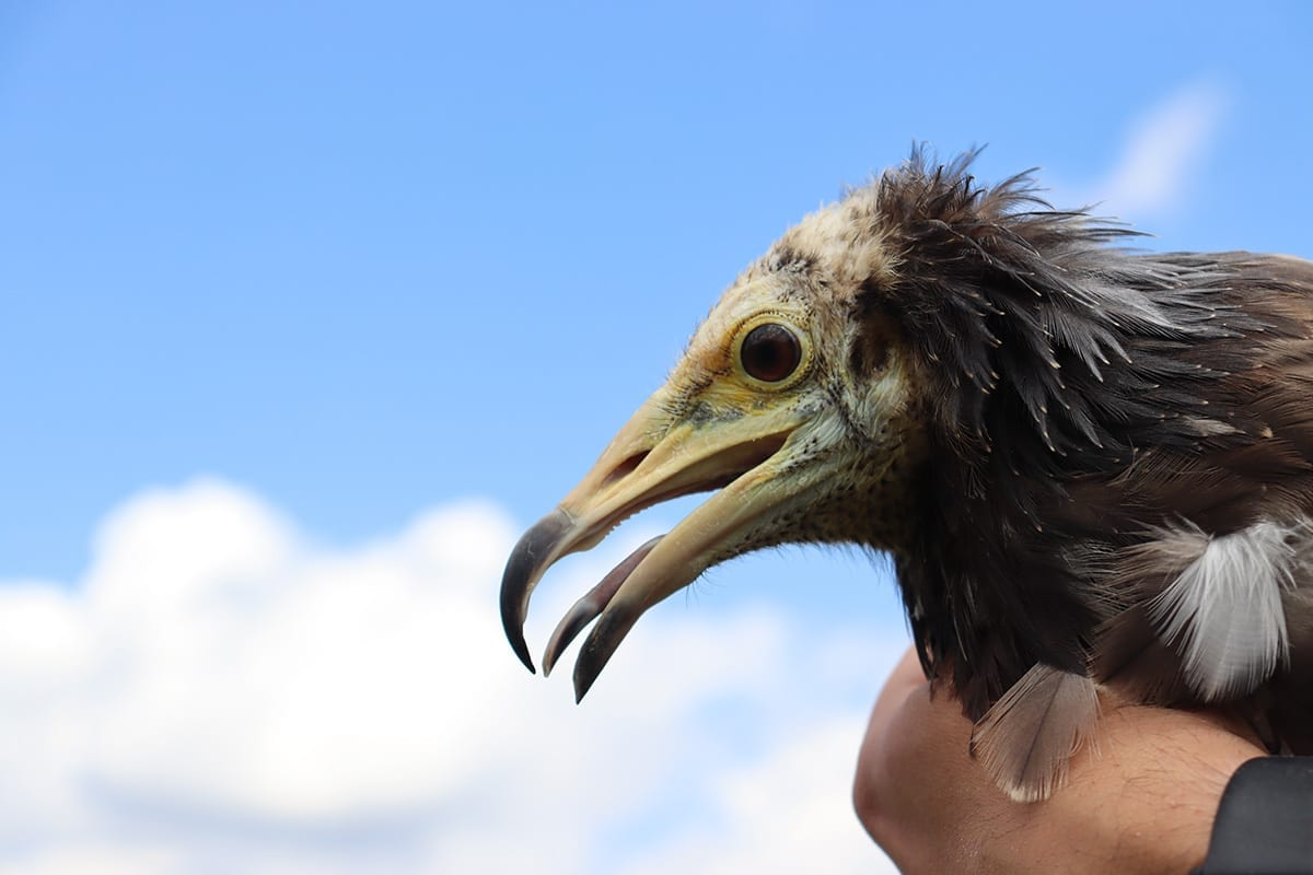The young Egyptian vultures from the adaption aviary are ready to fly in the skies of the Eastern Rhodopes