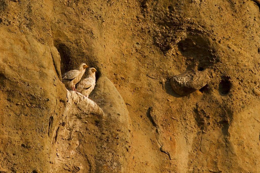 Египетски лешояди, © Димитрис Вавилис/HOS