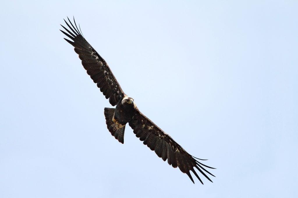 Царски орел, © Светослав Спасов