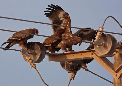 Опасните електрически стълбове в Африка и Близкия изток са основна заплаха за гнездящи у нас световнозастрашени птици