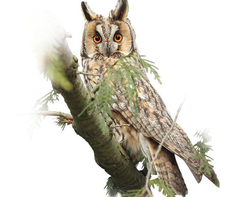Горска ушата сова