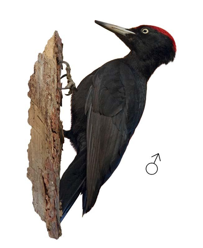 Черен кълвач